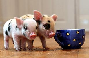 mini_pets_pigs.jpg