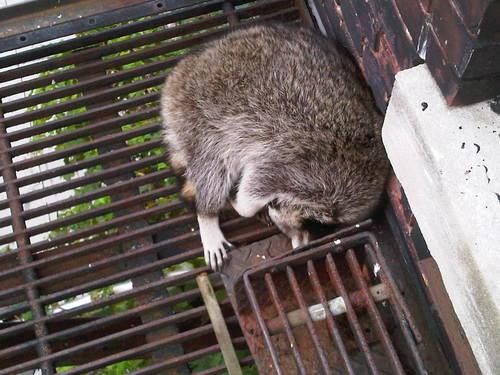 cute-raccoon-fire-escape.jpg