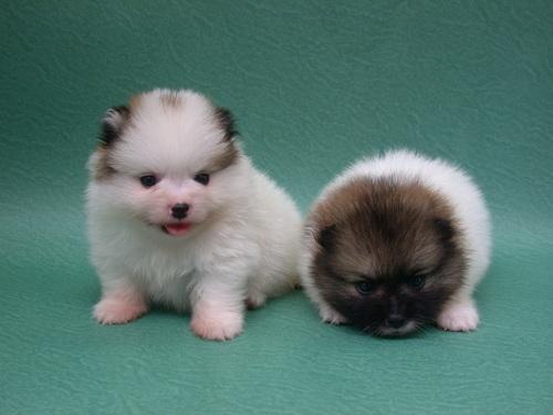 Pomeranian-Puppy16.jpg