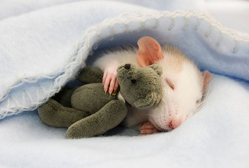 Rats-with-Teddy-Bears-1.jpg