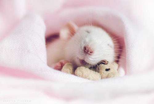 Rats-with-Teddy-Bears-10.jpg