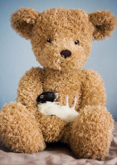 Rats-with-Teddy-Bears-11.jpg