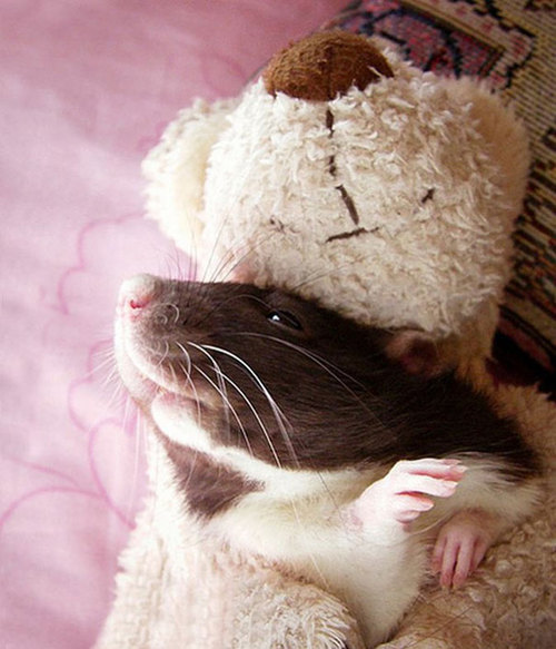 Rats-with-Teddy-Bears-12.jpg