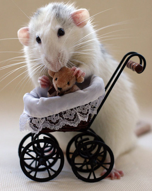 Rats-with-Teddy-Bears-13.jpg
