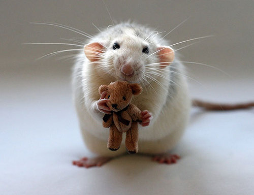 Rats-with-Teddy-Bears-14.jpg