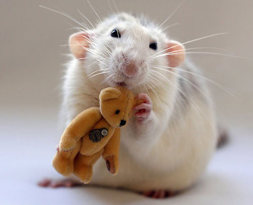 Rats-with-Teddy-Bears-17.jpg