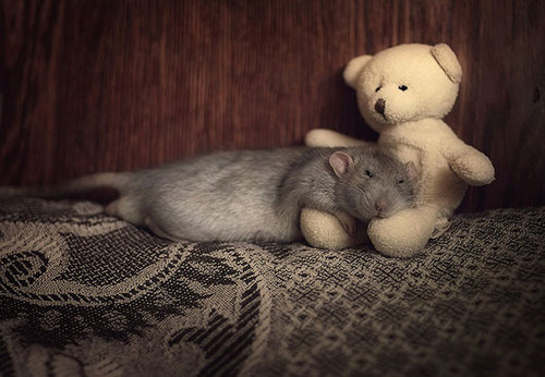 Rats-with-Teddy-Bears-18.jpg