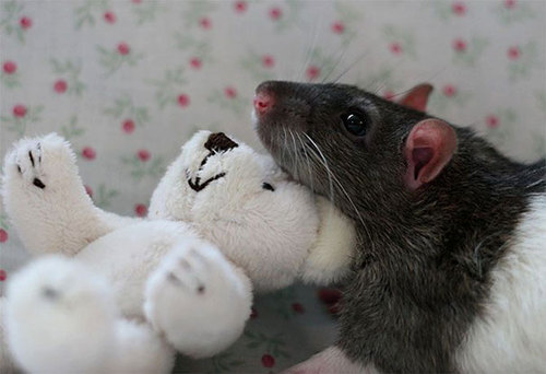 Rats-with-Teddy-Bears-19.jpg