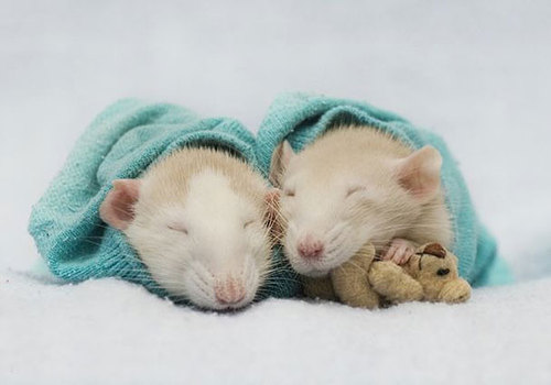 Rats-with-Teddy-Bears-2.jpg