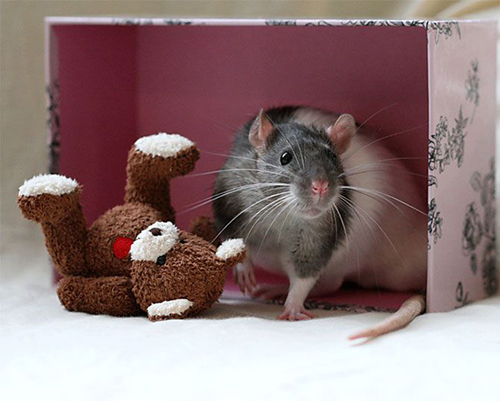 Rats-with-Teddy-Bears-21.jpg
