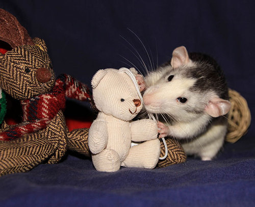 Rats-with-Teddy-Bears-22.jpg