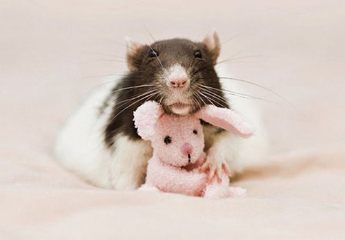 Rats-with-Teddy-Bears-4.jpg
