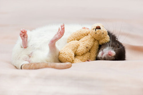 Rats-with-Teddy-Bears-5.jpg