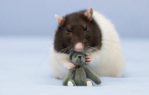 Rats-with-Teddy-Bears-6.jpg