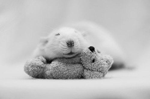 Rats-with-Teddy-Bears-7.jpg