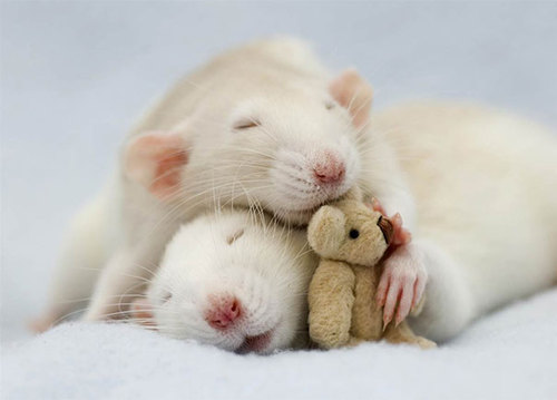 Rats-with-Teddy-Bears-8.jpg