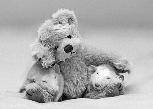 Rats-with-Teddy-Bears-9.jpg