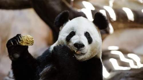 giant-panda-1-522x293.jpg