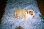 bulldog01-tn.jpg