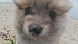 pomeranian-puppy01.jpg
