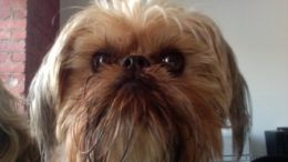 brussels-griffon-before-thumb.jpg