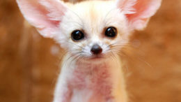 baby-fennec-fox-01-thumb.jpg