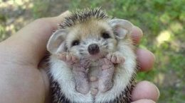 baby-hedgehog-thumb.jpg