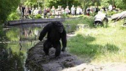 chimp460x276-thumb.jpg