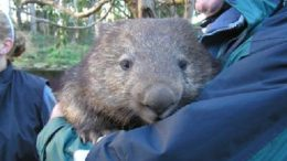 nugget-the-wombat-thumb.jpg