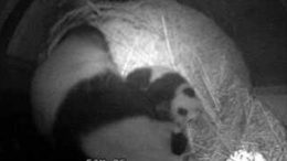 baby-panda-kiss.jpg