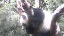 panda-in-a-tree.jpg