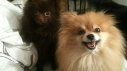 adorable-poms-gizmo-thumb-500x375-1645.jpg