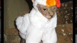 catchicken.jpg