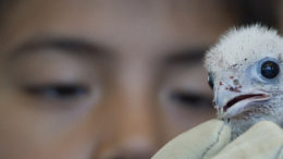 baby-falcon-chicks-toronto-01-thumb-500x231-4771.jpg