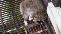 cute-raccoon-fire-escape-thumb-500x375-5479.jpg