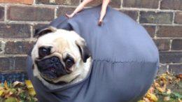 pug-wrecking-ball-thumb-500x669-15256.jpg