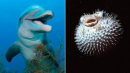 GTY_dolphin_pufferfish_split_sr_131231_16x9_992-thumb-500x281-16610.jpg