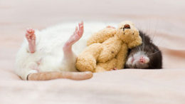 Rats-with-Teddy-Bears-5-thumb-500x332-16965.jpg