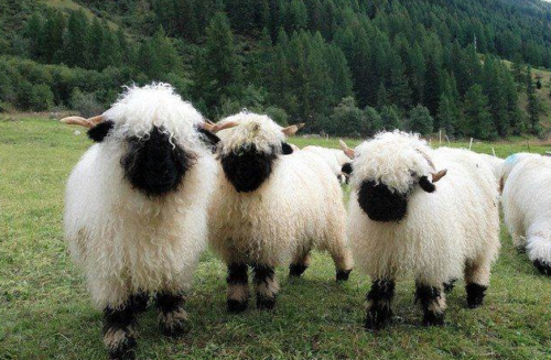 valais-black-sheep