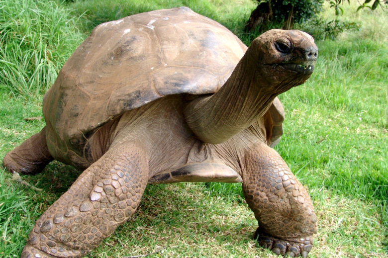 Jonathan the gay tortoise of St Helena